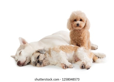 portrait of lazy siberian husky and shih tzu sleeping together on the floor with cute brown poodle sitting next them isolated on white background