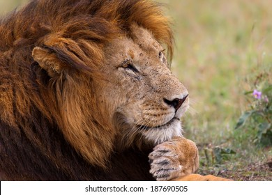 Portrait of legendary Lion King Notch just looks very relaxed in his kingdom in Masai Mara, Kenya