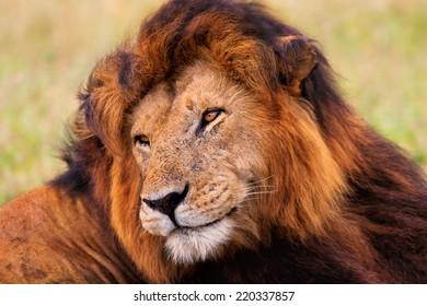 Portrait of the legendary Lion Notch, Masai Mara, Kenya