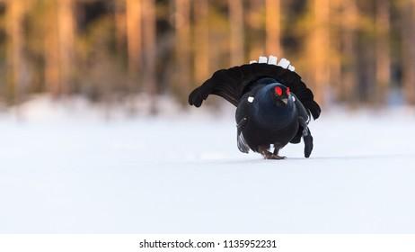 Portrait of a lekking Black Grouse in central Sweden