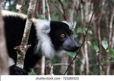 Portrait of Lemur in Madagascar, island of Africa