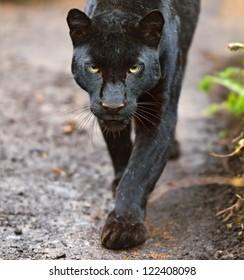 Portrait Leopard