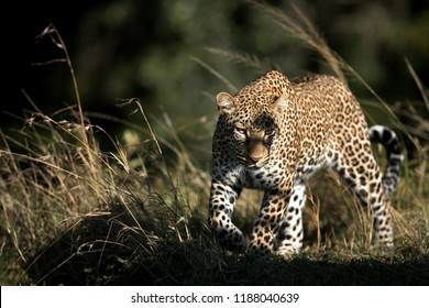 A portrait of Leopard Koboso at Masai Mara, Kenya
