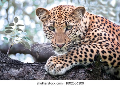 Portrait of a Leopard seen on Safari in South Africa