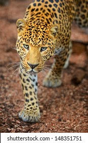 Portrait of a leopard in the summer on the nature