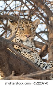 A portrait of a leopard in a tree