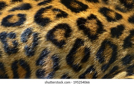 Portrait of a Leopard in the wild habitat