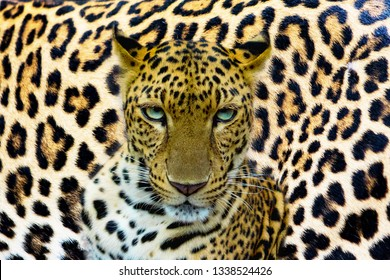 The portrait of leopards in various styles