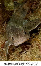 Portrait of lesser spotted dogfish
