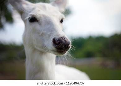 Portrait of a leucistic white-tailed deer.