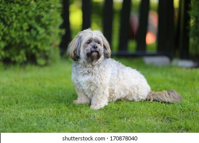 Portrait of Lhasa Apso dog facing the camera.