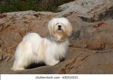 Portrait of lhasa apso dog in outdoors.
