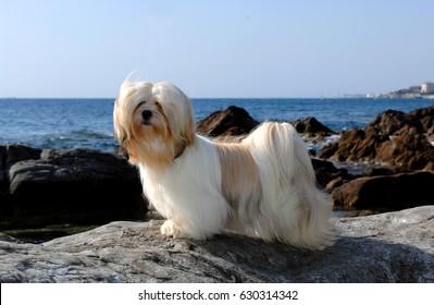 Portrait of lhasa apso dog at sea.