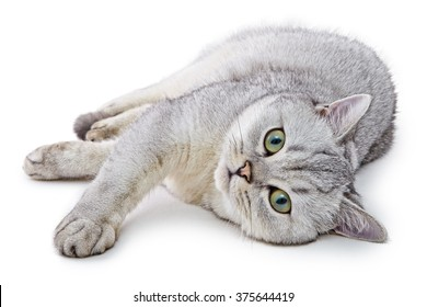 Portrait of Light Gray British Shorthair cat lying on a white background.