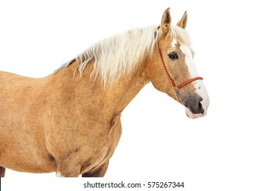 Portrait of light gray horse on a white background