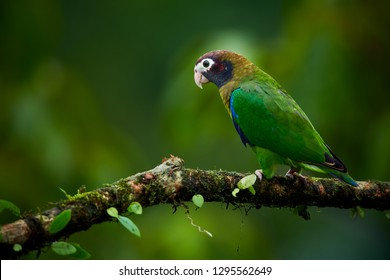 Portrait of light green parrot with brown head,  Brown-hooded Parrot, Pionopsitta haematotis. Wildlife bird from tropical forest. Parrot from Central America.