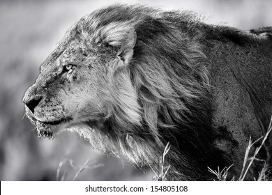 Portrait of Lion Clawed with flowing mane. He is the oldest and most powerful lion from the Marsh Pride in Masai Mara, Kenya