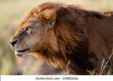 Portrait of Lion Clawed the oldest and most powerful lion from the marsh in Masai Mara, Kenya