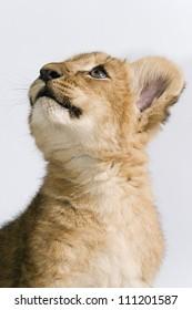 Portrait of a lion cub from below
