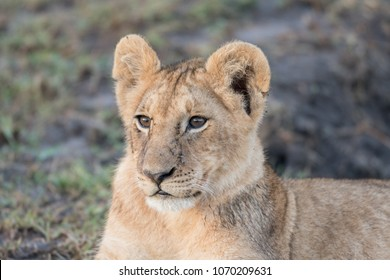 Portrait of a lion cub with flies on its face in Masai Mara Game Reserve, Kenya