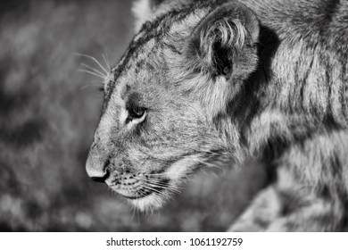 Portrait of a lion cub in Masai Mara, Kenya