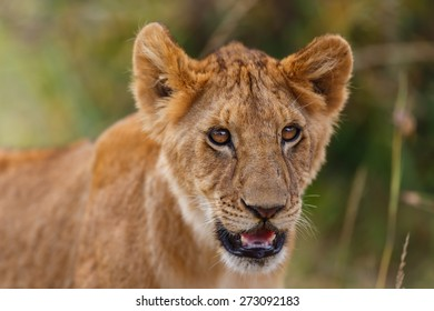 Portrait of a Lion cub from Rekero Pride in Masai Mara, Kenya