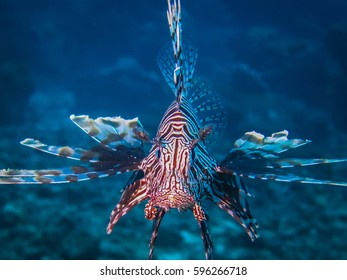 Portrait of a Lion fish with blue background