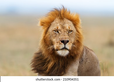 Portrait of a Lion male after eating in Masai Mara, Kenya