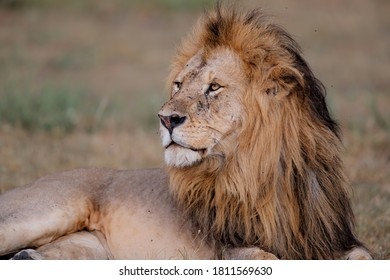 Portrait of a Lion male in the Masai Mara in Kenya