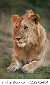 A portrait of a lion, Masai Mara