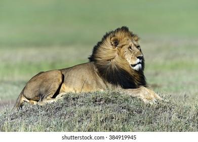 Portrait of a lion in the Masai Mara park