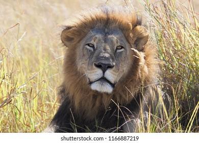 Portrait of a  Lion, Moremi, Botswana