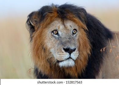 Portrait of Lion Notch the most famous lion in the Masai Mara