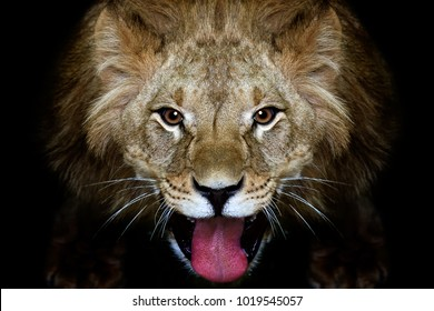 Portrait of a lion on a black background, closeup, top view