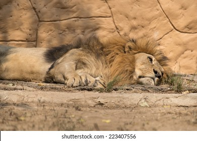Portrait lion sleeping and close its eye