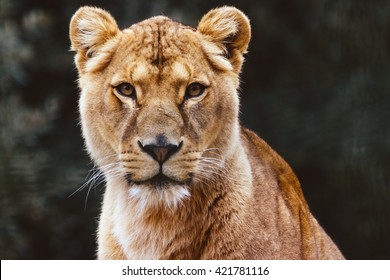 female lion images stock photos amp vectors shutterstock