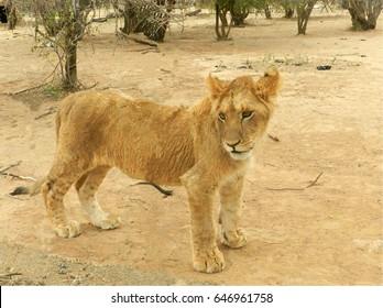 portrait of a lion teen