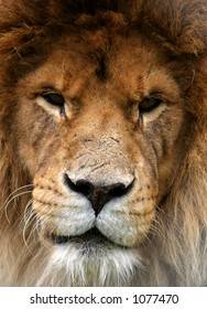 Portrait of a lion that looks as if it has been in many fights.  Dark eyes and scarred nose.