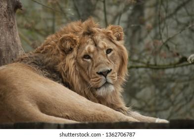 portrait of lion watching camera