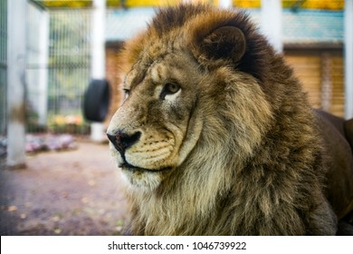 portrait of a lion in a zoo