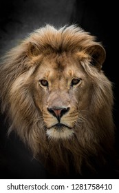 Portrait of a lion from the zoo
