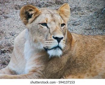 Portrait of a lioness. Close-up.