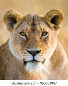 Portrait of a lioness. Close-up. Kenya. Tanzania. Maasai Mara. Serengeti. An excellent illustration.