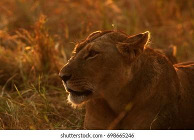 Portrait of a Lioness in the evening light, Masai Mara