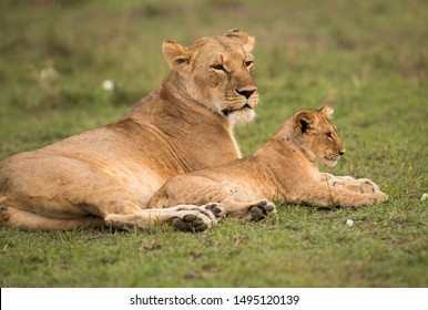 A portrait of a Lioness and her cub, Masai Mara