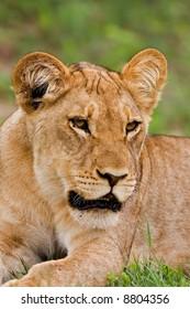 Portrait of lioness; Panthera leo; Botswana