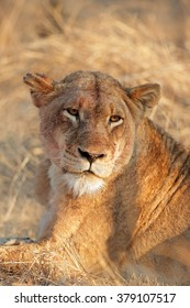 Portrait of a lioness (Panthera leo), Sabie-Sand nature reserve, South Africa