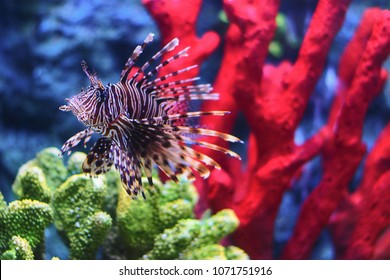 Portrait of a Lionfish. Another name is Turkeyfish or Firefish or Butterfly-cods. with blurred red and green coral in background. vivid and colorful color. under the sea concept. dangerous fish