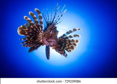 Portrait of the lionfish (Pterois miles) Red sea. Dahab, Bannerfish Bay. Egypt, South Sinai.