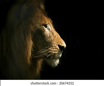 Portrait of a Lion's head from side.